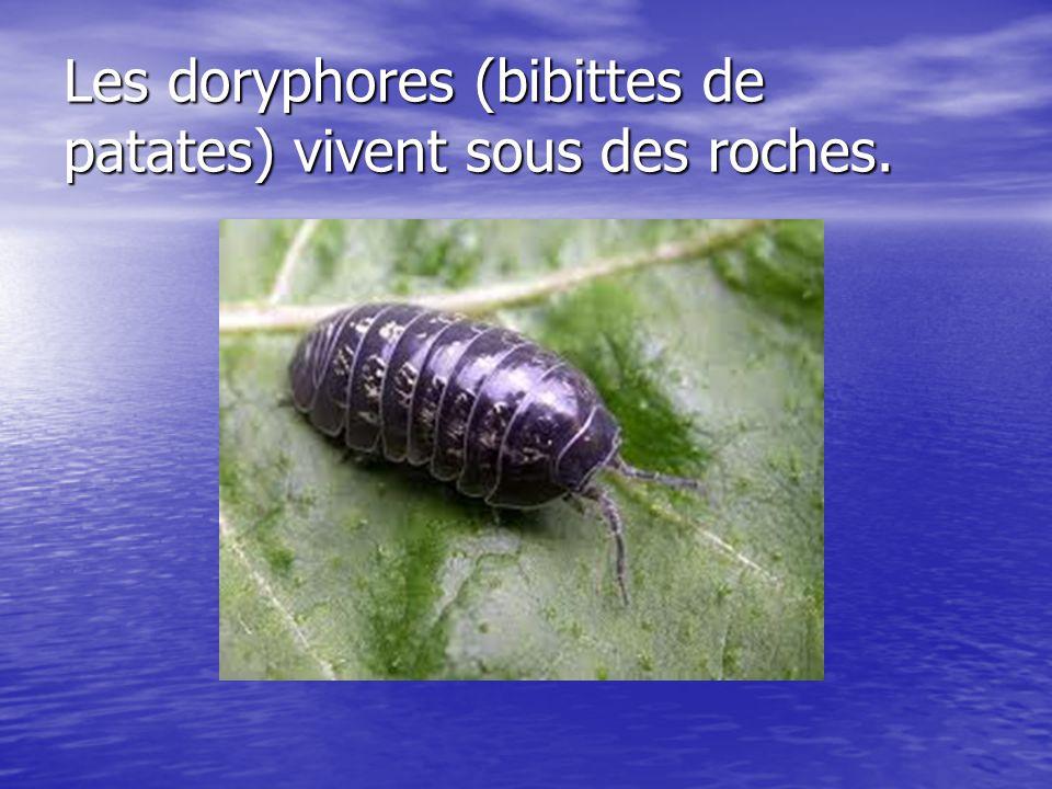 Les doryphores (bibittes de patates) vivent sous des roches.