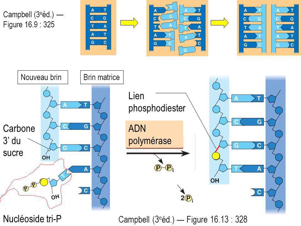 Campbell (3 e éd.) Figure 16.9 : 325 Brin matriceNouveau brin Nucléoside tri-P Carbone 3 du sucre Campbell (3 e éd.) Figure 16.13 : 328 ADN polymérase