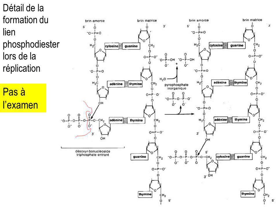 Détail de la formation du lien phosphodiester lors de la réplication Pas à lexamen