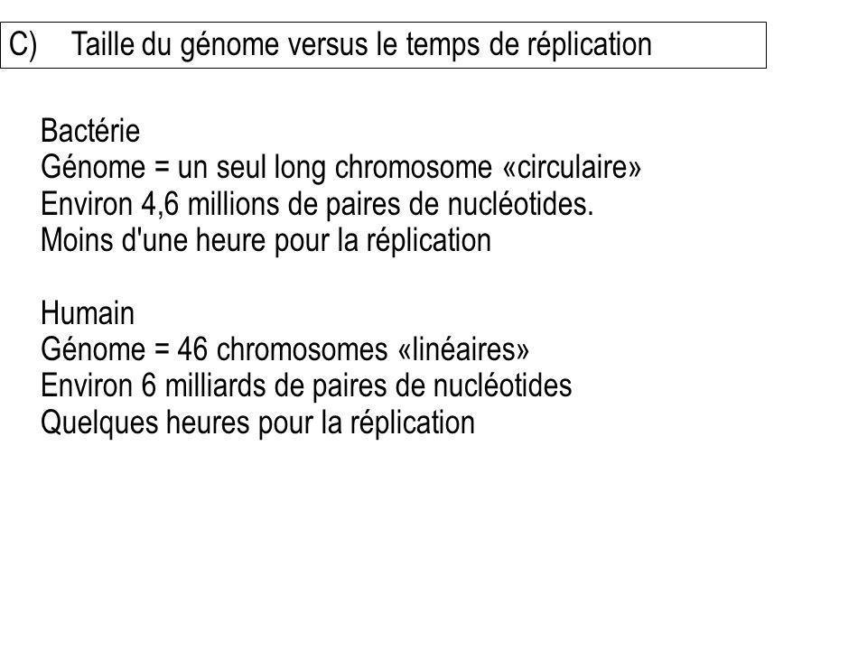 C)Taille du génome versus le temps de réplication Bactérie Génome = un seul long chromosome «circulaire» Environ 4,6 millions de paires de nucléotides