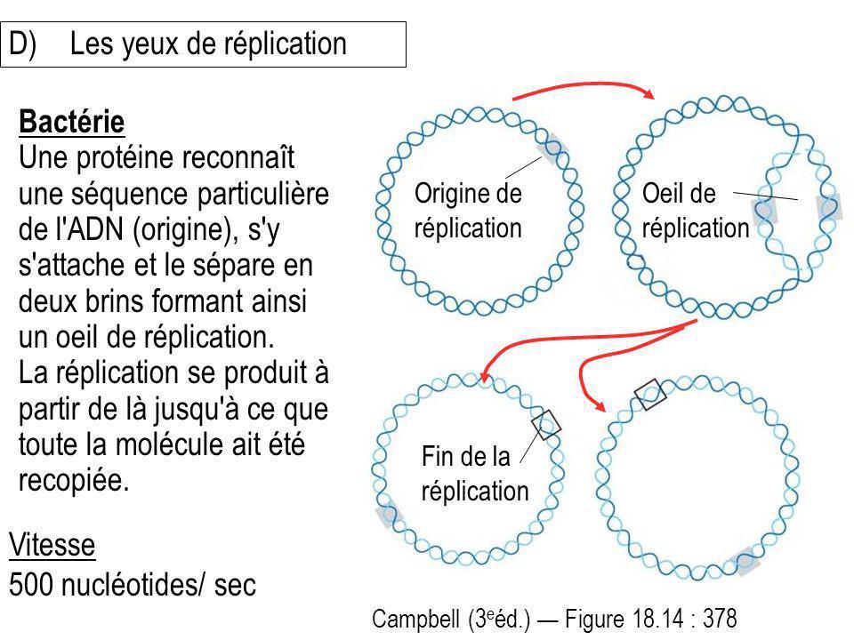 Bactérie Une protéine reconnaît une séquence particulière de l'ADN (origine), s'y s'attache et le sépare en deux brins formant ainsi un oeil de réplic