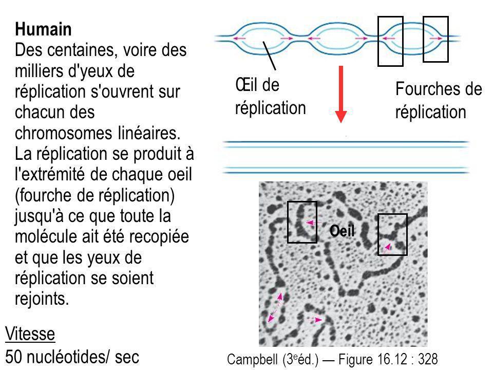 Humain Des centaines, voire des milliers d'yeux de réplication s'ouvrent sur chacun des chromosomes linéaires. La réplication se produit à l'extrémité