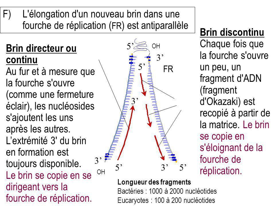 F)L'élongation d'un nouveau brin dans une fourche de réplication ( FR ) est antiparallèle Brin directeur ou continu Au fur et à mesure que la fourche