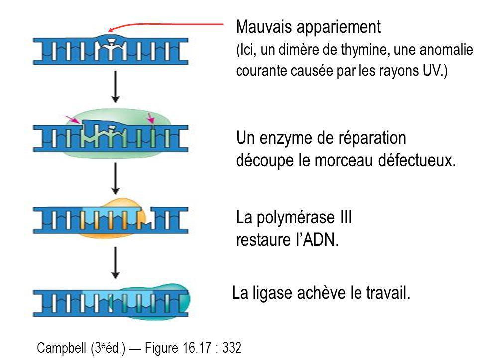 Mauvais appariement (Ici, un dimère de thymine, une anomalie courante causée par les rayons UV.) Un enzyme de réparation découpe le morceau défectueux