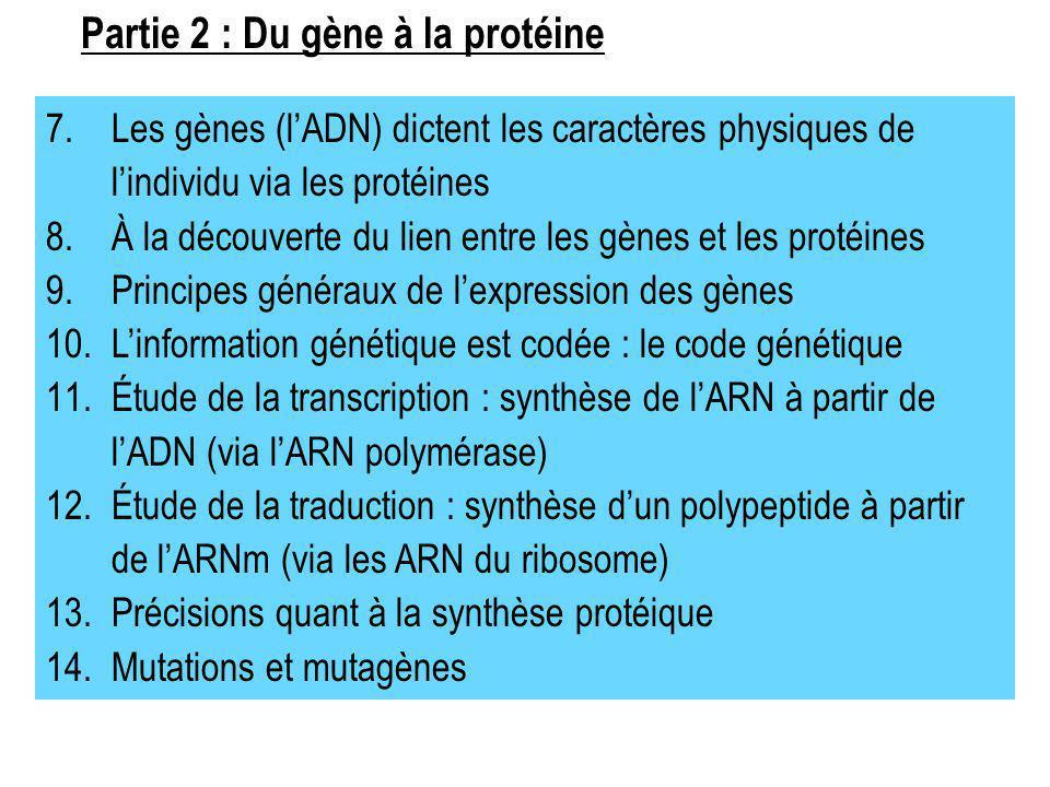 7.Les gènes (lADN) dictent les caractères physiques de lindividu via les protéines 8.À la découverte du lien entre les gènes et les protéines 9.Princi