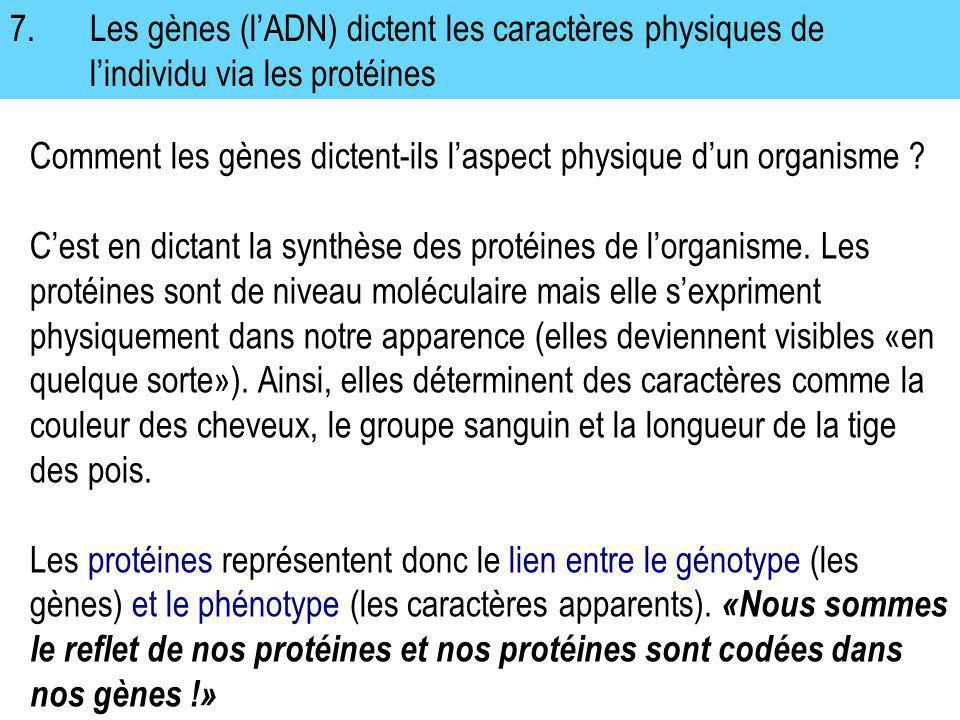 7.Les gènes (lADN) dictent les caractères physiques de lindividu via les protéines Comment les gènes dictent-ils laspect physique dun organisme ? Cest