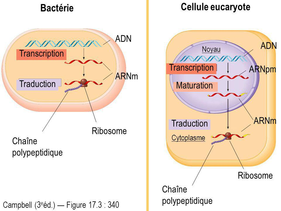 Transcription Traduction ADN ARNm Ribosome Chaîne polypeptidique Transcription Traduction ADN ARNm Ribosome ARNpm Maturation Chaîne polypeptidique Bactérie Cellule eucaryote Campbell (3 e éd.) Figure 17.3 : 340 Noyau Cytoplasme