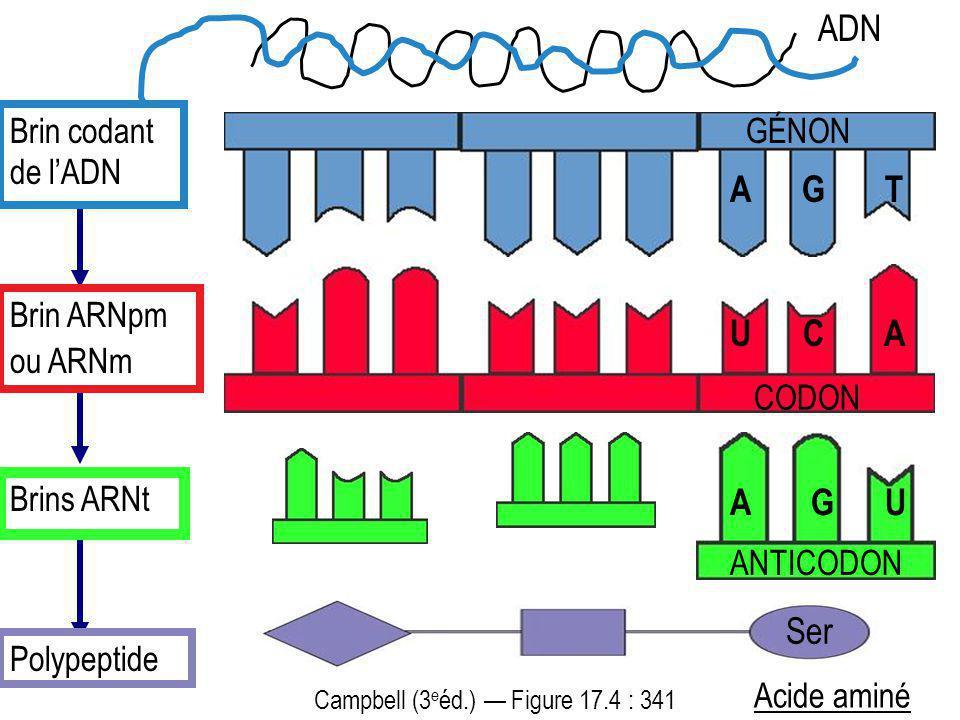A G T Brin codant de lADN Brin ARNpm ou ARNm Brins ARNt Polypeptide Ser GÉNON Acide aminé ADN Campbell (3 e éd.) Figure 17.4 : 341 ANTICODON A G U U C