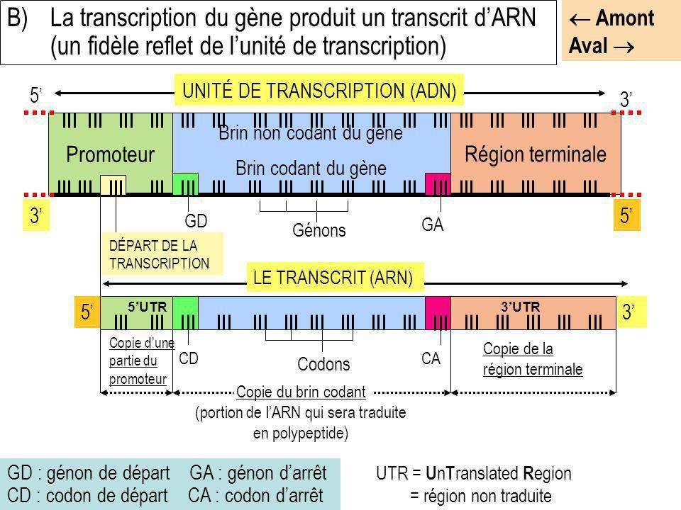 GD : génon de départ GA : génon darrêt CD : codon de départ CA : codon darrêt B)La transcription du gène produit un transcrit dARN (un fidèle reflet d
