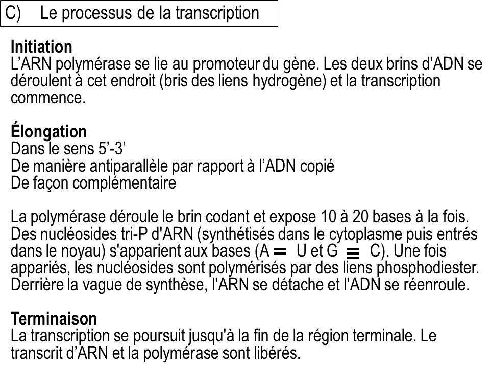 C)Le processus de la transcription Initiation LARN polymérase se lie au promoteur du gène. Les deux brins d'ADN se déroulent à cet endroit (bris des l