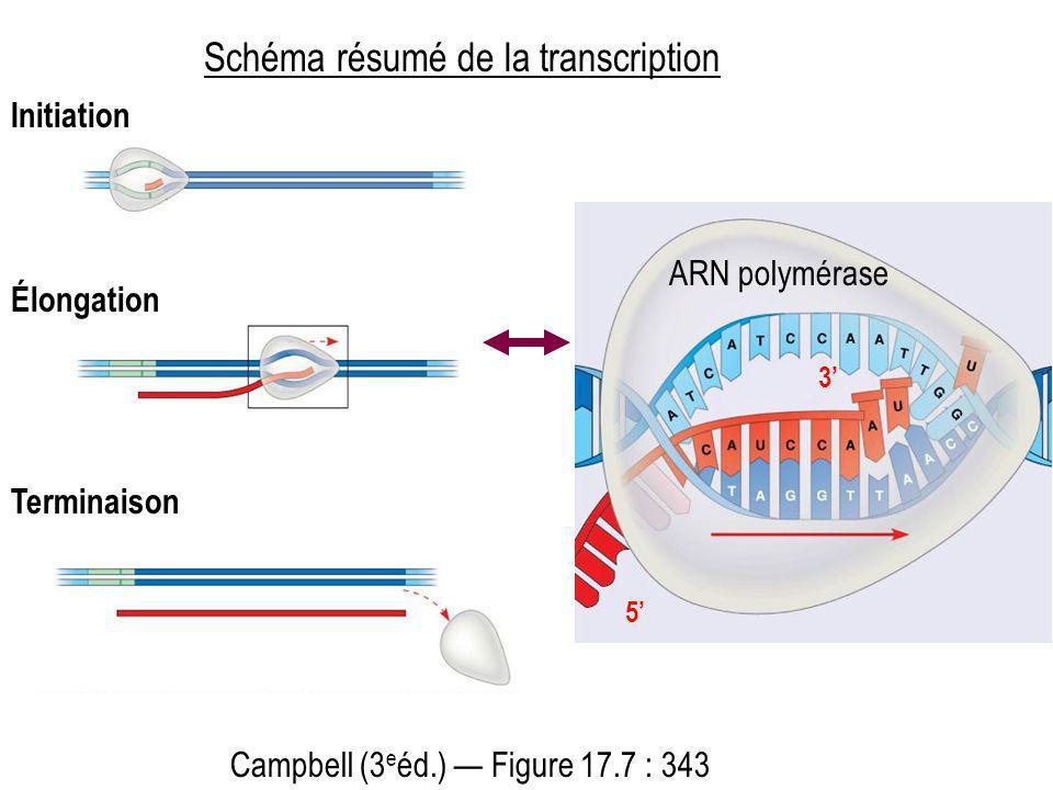 5 3 ARN polymérase Campbell (3 e éd.) Figure 17.7 : 343 Initiation Élongation Terminaison Schéma résumé de la transcription