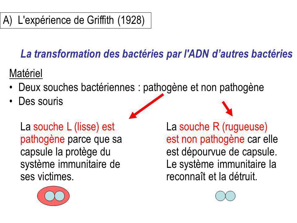 A)L'expérience de Griffith (1928) Matériel Deux souches bactériennes : pathogène et non pathogène Des souris La transformation des bactéries par l'ADN