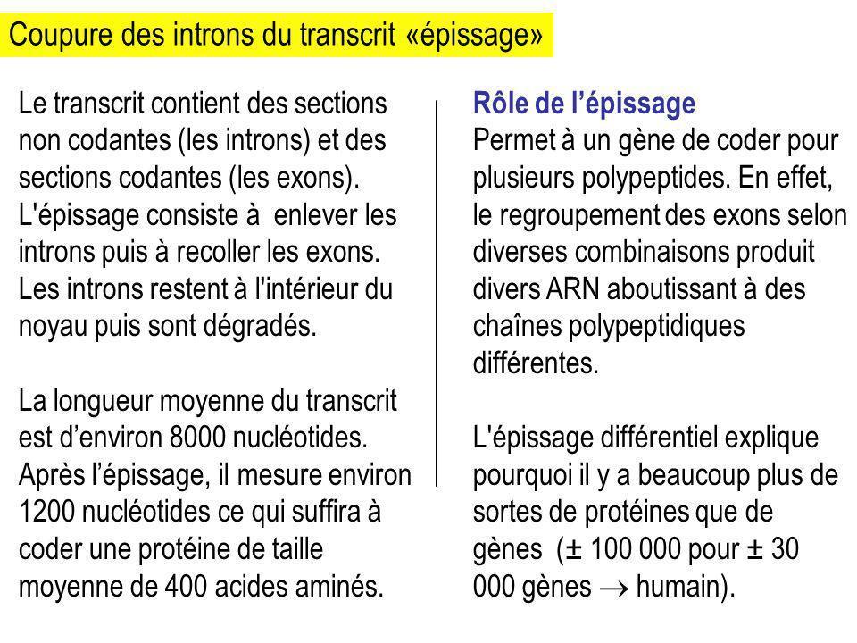Coupure des introns du transcrit «épissage» Le transcrit contient des sections non codantes (les introns) et des sections codantes (les exons). L'épis