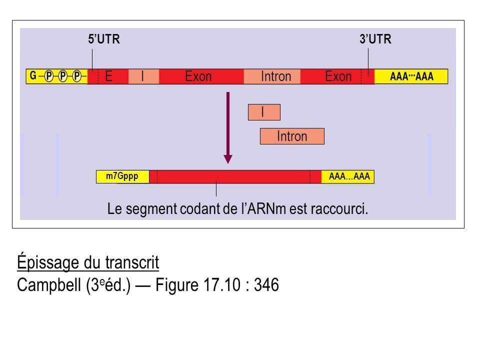 Épissage du transcrit Campbell (3 e éd.) Figure 17.10 : 346 IExon Le segment codant de lARNm est raccourci. ExonEIntron AAA…AAA m7Gppp I Intron 5UTR 3