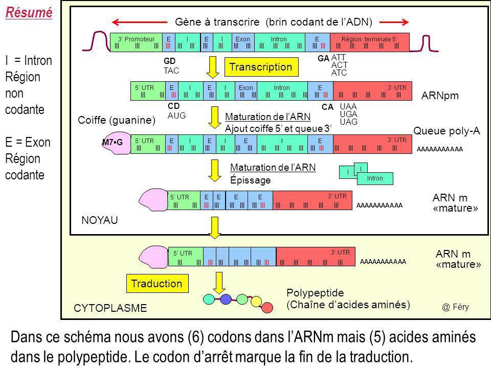 Dans ce schéma nous avons (6) codons dans lARNm mais (5) acides aminés dans le polypeptide. Le codon darrêt marque la fin de la traduction. Résumé I I