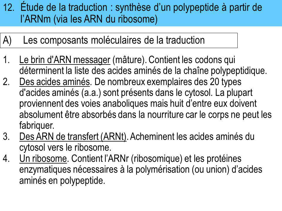 12. Étude de la traduction : synthèse dun polypeptide à partir de lARNm (via les ARN du ribosome) A)Les composants moléculaires de la traduction 1.Le