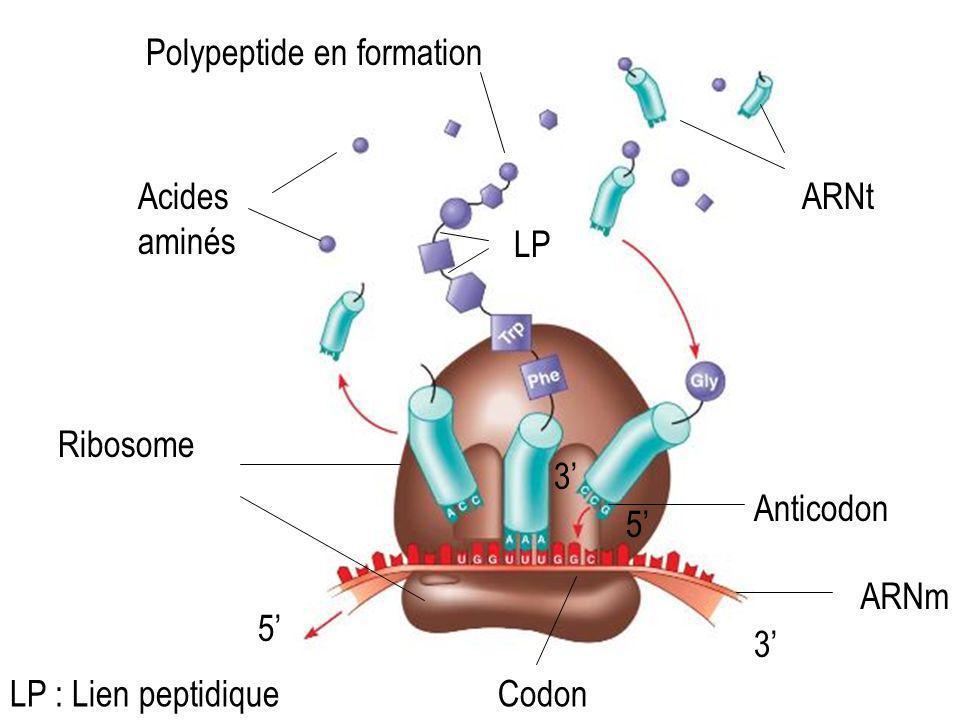 Acides aminés ARNt Ribosome ARNm Codon Anticodon Polypeptide en formation 5 3 LP LP : Lien peptidique 3 5