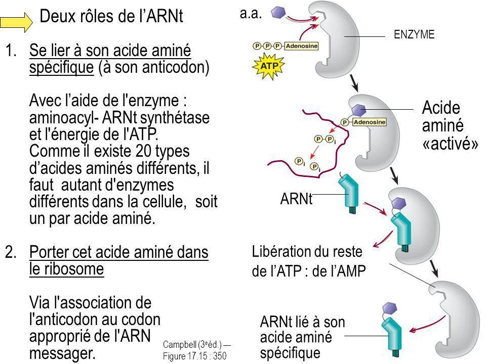 Deux rôles de lARNt 1.Se lier à son acide aminé spécifique (à son anticodon) Avec laide de l'enzyme : aminoacyl- ARNt synthétase et l'énergie de l'ATP