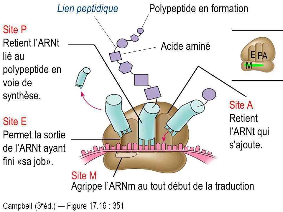 E PA Site M Agrippe lARNm au tout début de la traduction Site P Retient lARNt lié au polypeptide en voie de synthèse. Site A Retient lARNt qui sajoute