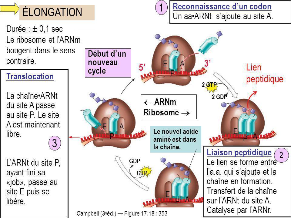 ÉLONGATION 2 GTP Lien peptidique 2 GDP AE A Le nouvel acide aminé est dans la chaîne. P GTP GDP P E Durée : ± 0,1 sec Le ribosome et lARNm bougent dan