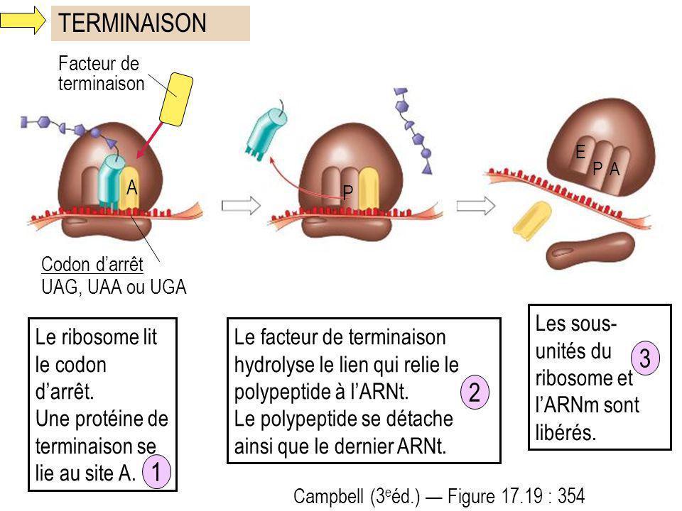 TERMINAISON Campbell (3 e éd.) Figure 17.19 : 354 E PA Codon darrêt UAG, UAA ou UGA Facteur de terminaison A P Le ribosome lit le codon darrêt. Une pr