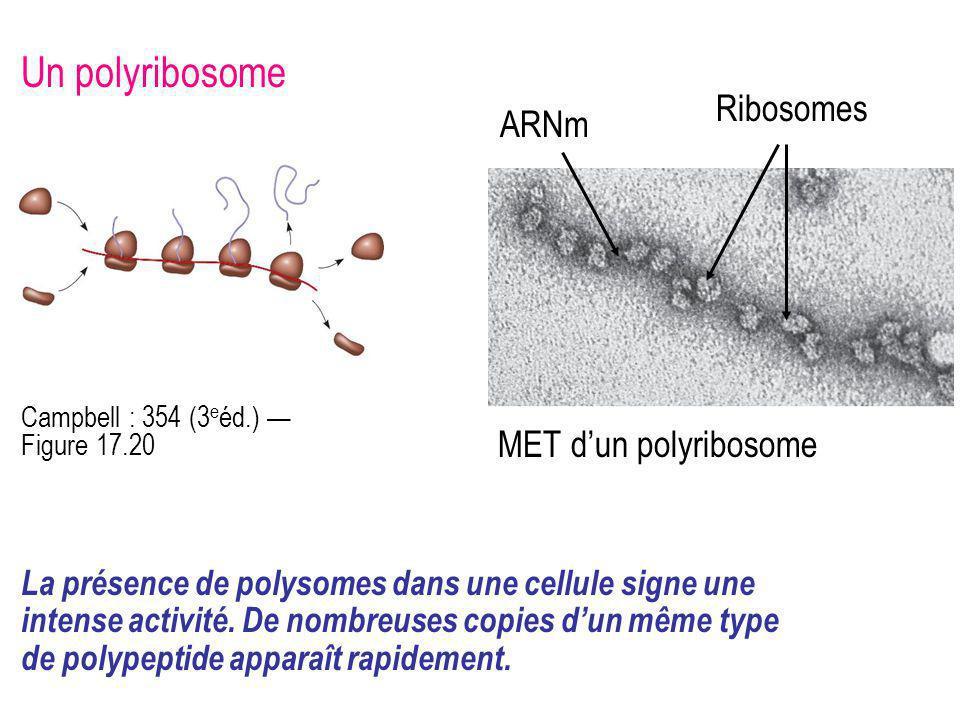 Un polyribosome ARNm La présence de polysomes dans une cellule signe une intense activité. De nombreuses copies dun même type de polypeptide apparaît