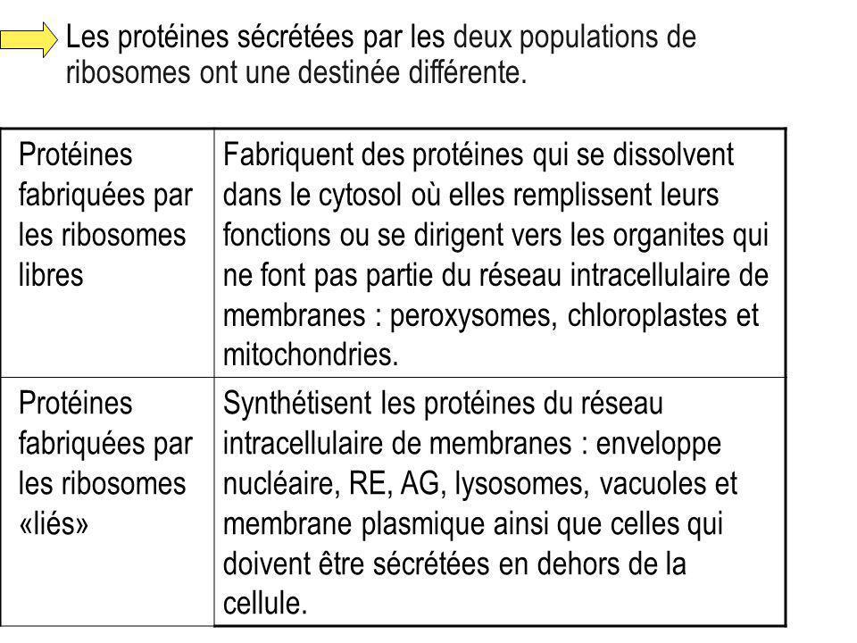 Les protéines sécrétées par les deux populations de ribosomes ont une destinée différente. Protéines fabriquées par les ribosomes libres Fabriquent de