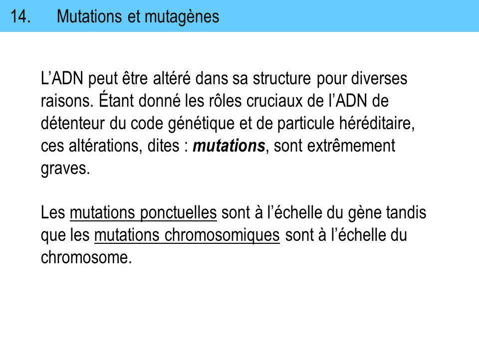 14. Mutations et mutagènes LADN peut être altéré dans sa structure pour diverses raisons. Étant donné les rôles cruciaux de lADN de détenteur du code