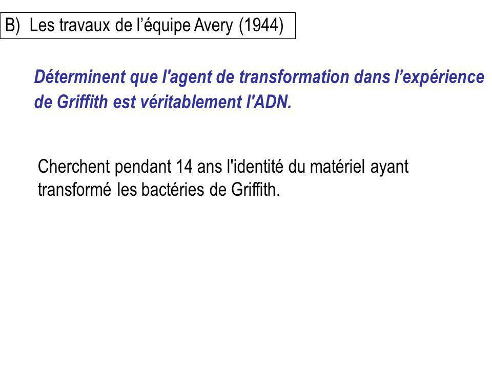 B)Les travaux de léquipe Avery (1944) Cherchent pendant 14 ans l'identité du matériel ayant transformé les bactéries de Griffith. Déterminent que l'ag