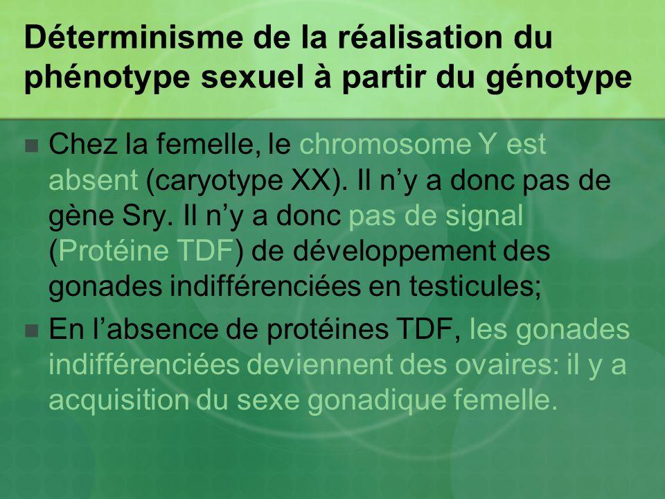 Déterminisme de la réalisation du phénotype sexuel à partir du génotype Chez la femelle, le chromosome Y est absent (caryotype XX). Il ny a donc pas d
