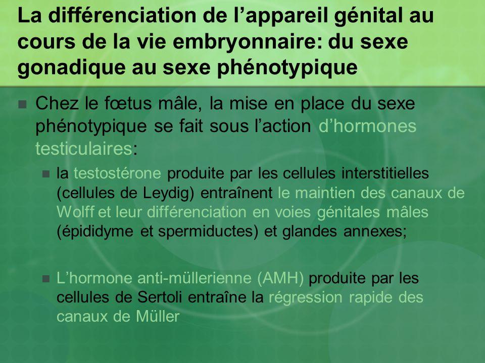 La différenciation de lappareil génital au cours de la vie embryonnaire: du sexe gonadique au sexe phénotypique Chez le fœtus mâle, la mise en place du sexe phénotypique se fait sous laction dhormones testiculaires: la testostérone produite par les cellules interstitielles (cellules de Leydig) entraînent le maintien des canaux de Wolff et leur différenciation en voies génitales mâles (épididyme et spermiductes) et glandes annexes; Lhormone anti-müllerienne (AMH) produite par les cellules de Sertoli entraîne la régression rapide des canaux de Müller