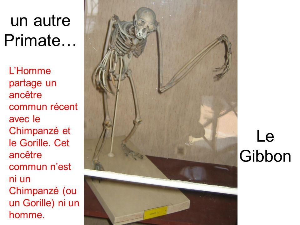 Le Gibbon un autre Primate… LHomme partage un ancêtre commun récent avec le Chimpanzé et le Gorille. Cet ancêtre commun nest ni un Chimpanzé (ou un Go