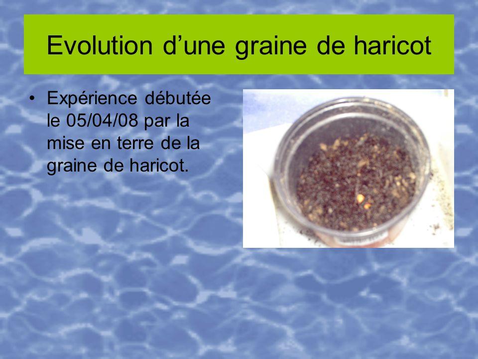 Evolution dune graine de haricot Expérience débutée le 05/04/08 par la mise en terre de la graine de haricot.