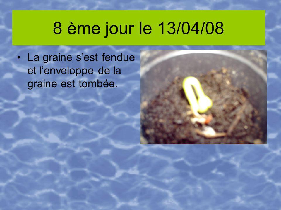 8 ème jour le 13/04/08 La graine sest fendue et lenveloppe de la graine est tombée.