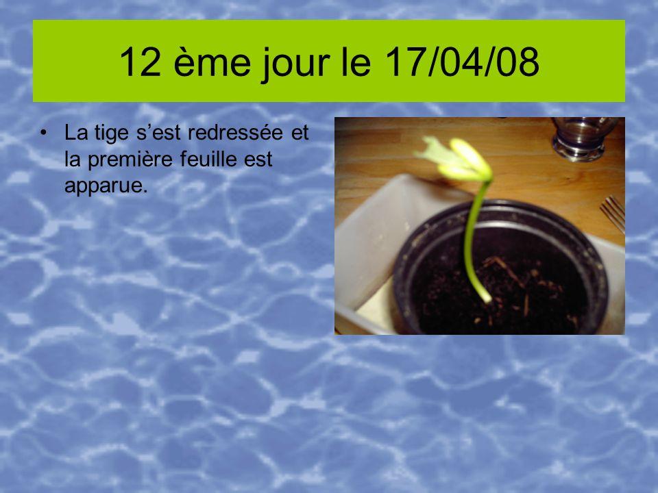 12 ème jour le 17/04/08 La tige sest redressée et la première feuille est apparue.