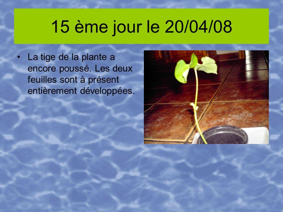 15 ème jour le 20/04/08 La tige de la plante a encore poussé. Les deux feuilles sont à présent entièrement développées.