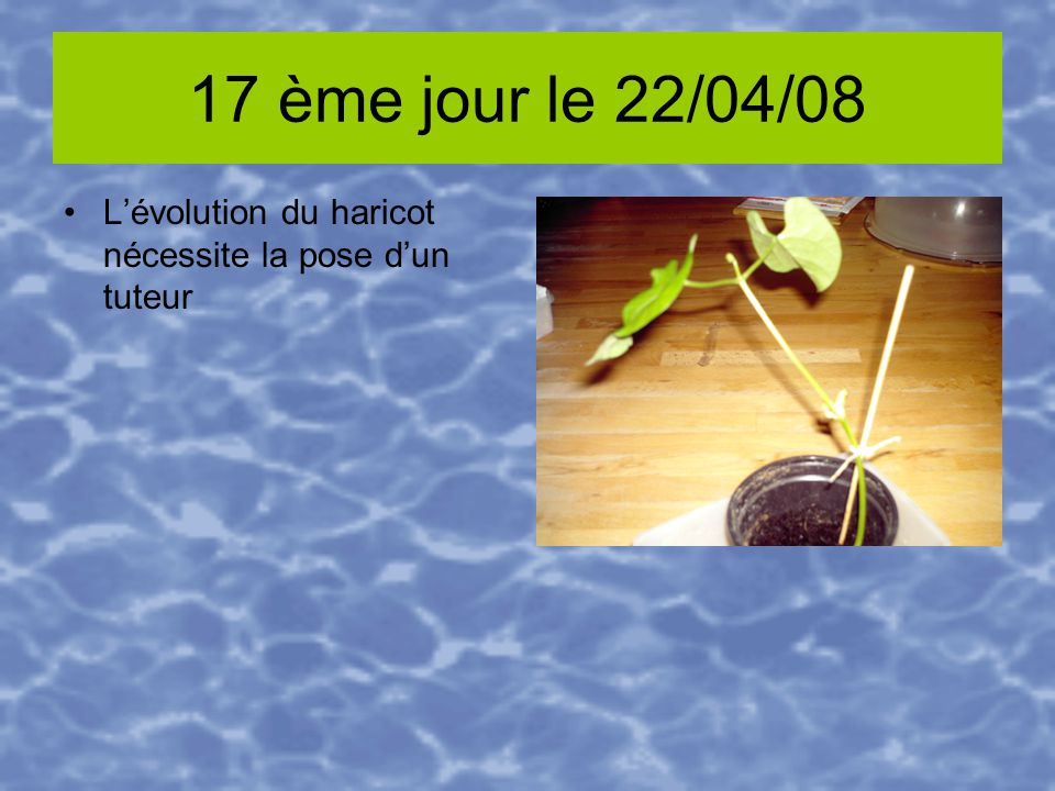 17 ème jour le 22/04/08 Lévolution du haricot nécessite la pose dun tuteur