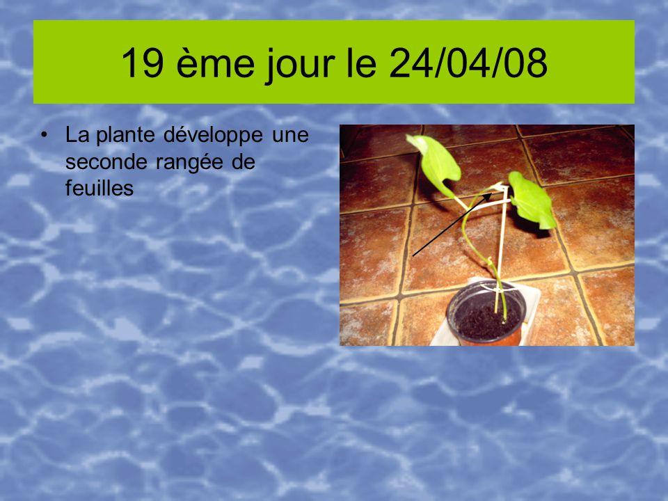 19 ème jour le 24/04/08 La plante développe une seconde rangée de feuilles