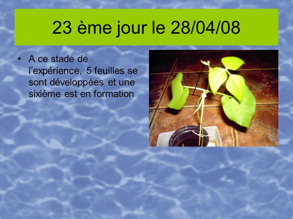 23 ème jour le 28/04/08 A ce stade de lexpérience, 5 feuilles se sont développées et une sixième est en formation