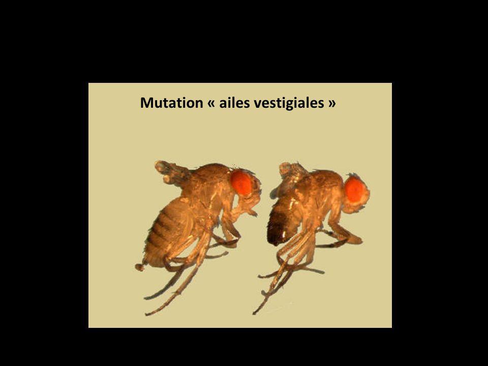 Mutation « ailes vestigiales »