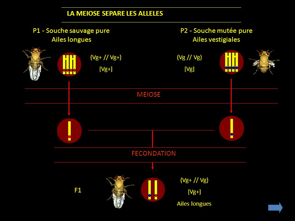 LA MEIOSE SEPARE LES ALLELES P1 - Souche sauvage pure Ailes longues P2 - Souche mutée pure Ailes vestigiales (Vg+ // Vg+) [Vg+] (Vg // Vg) [Vg] MEIOSE FECONDATION (Vg+ // Vg) [Vg+] Ailes longues F1