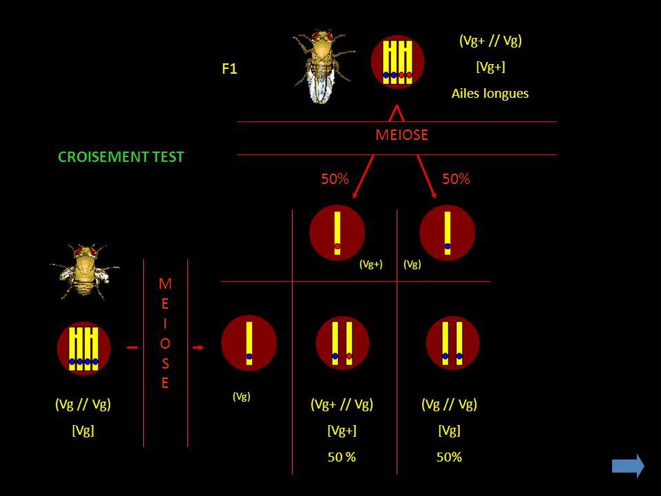 (Vg+ // Vg) [Vg+] Ailes longues MEIOSE (Vg // Vg) [Vg] MEIOSEMEIOSE (Vg+ // Vg) [Vg+] 50 % (Vg // Vg) [Vg] 50% CROISEMENT TEST (Vg+)(Vg) F1