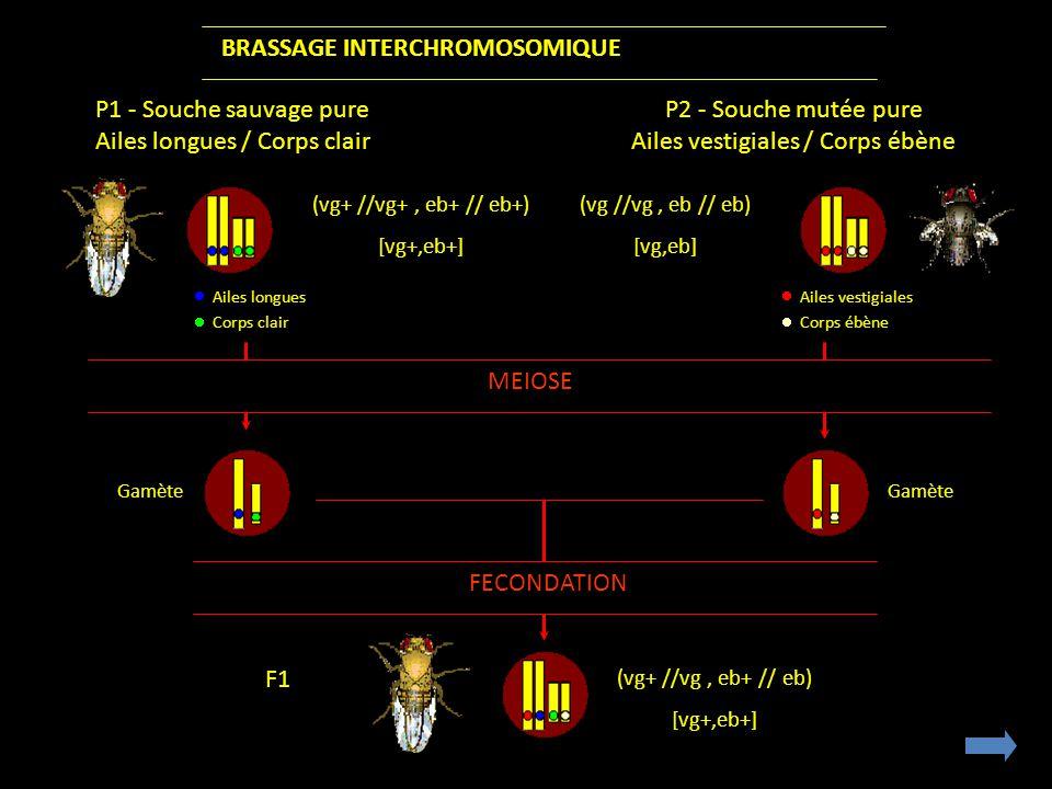 BRASSAGE INTERCHROMOSOMIQUE P1 - Souche sauvage pure Ailes longues / Corps clair P2 - Souche mutée pure Ailes vestigiales / Corps ébène Ailes longues Corps clair (vg+ //vg+, eb+ // eb+) [vg+,eb+] (vg //vg, eb // eb) [vg,eb] Ailes vestigiales Corps ébène FECONDATION MEIOSE (vg+ //vg, eb+ // eb) [vg+,eb+] Gamète Gamète F1