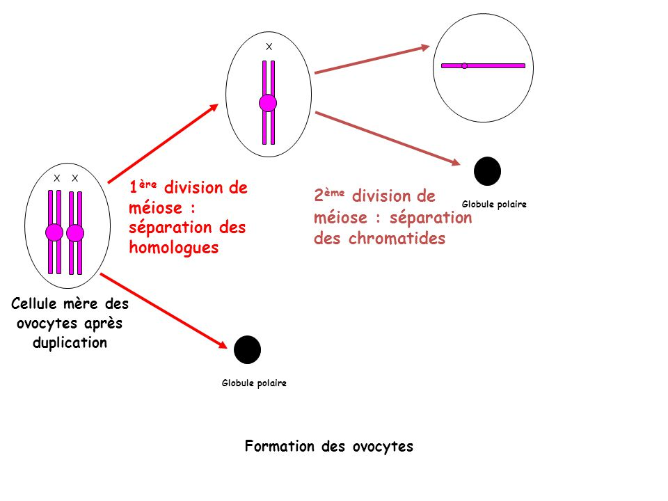 X Cellule mère des ovocytes après duplication 1 ère division de méiose : séparation des homologues X 2 ème division de méiose : séparation des chromatides Globule polaire Formation des ovocytes