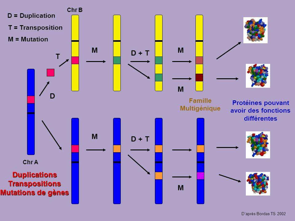 Chr A Chr B D = Duplication D T M M M M M D + T Famille Multigénique Protéines pouvant avoir des fonctions différentes Duplications Transpositions Mutations de gènes T = Transposition M = Mutation Daprès Bordas TS 2002