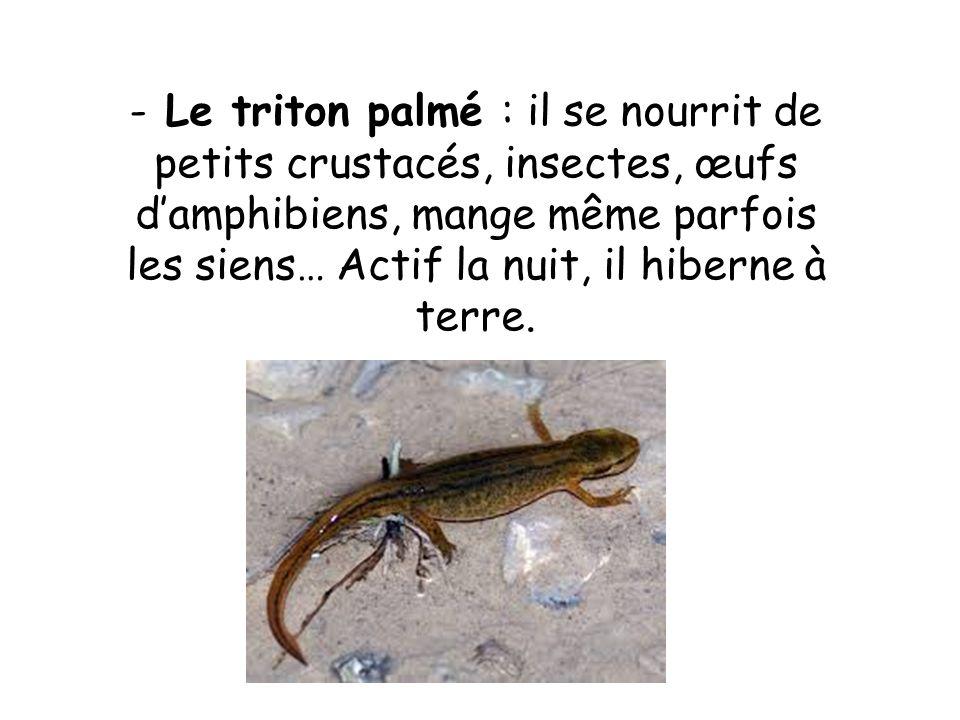 - Le triton palmé : il se nourrit de petits crustacés, insectes, œufs damphibiens, mange même parfois les siens… Actif la nuit, il hiberne à terre.