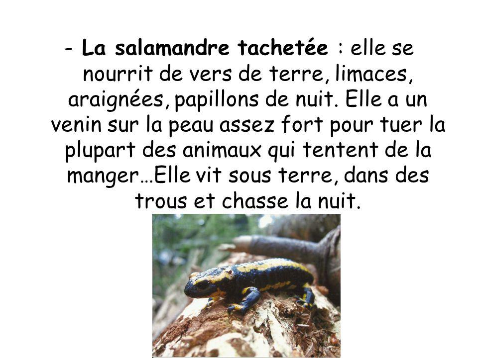 -La salamandre tachetée : elle se nourrit de vers de terre, limaces, araignées, papillons de nuit.
