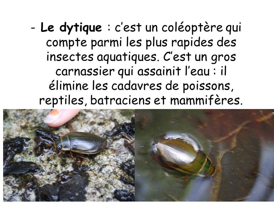 -Le dytique : cest un coléoptère qui compte parmi les plus rapides des insectes aquatiques.