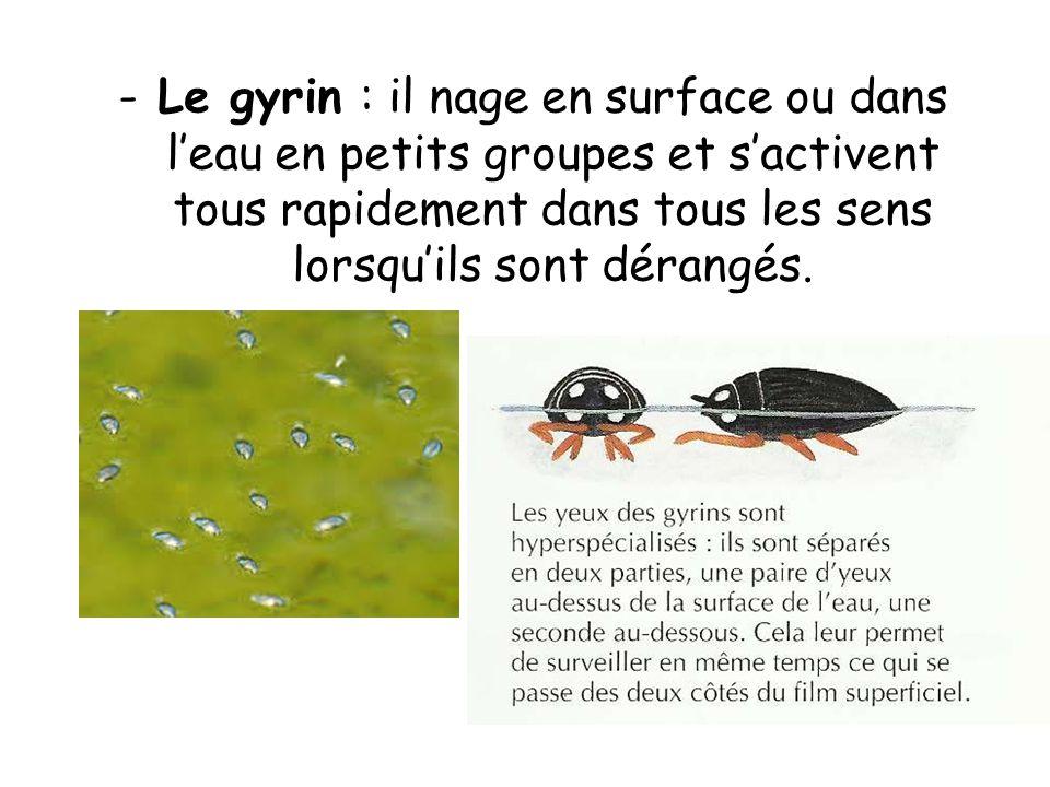 -Le gyrin : il nage en surface ou dans leau en petits groupes et sactivent tous rapidement dans tous les sens lorsquils sont dérangés.