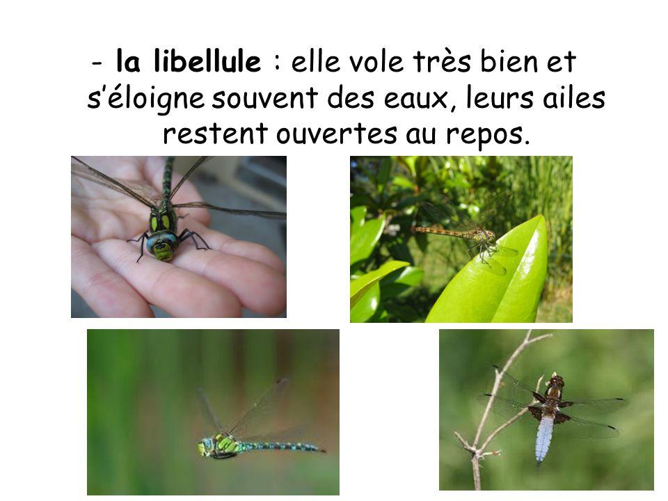 -la libellule : elle vole très bien et séloigne souvent des eaux, leurs ailes restent ouvertes au repos.